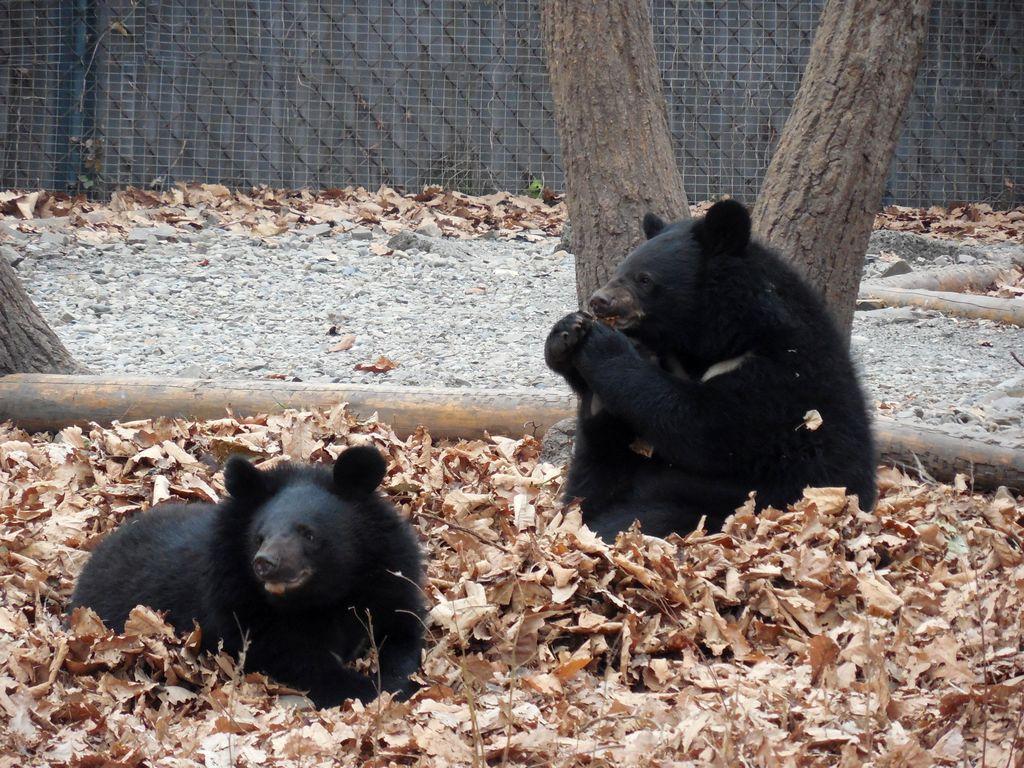 Гималайские медведи играют в сафари парк