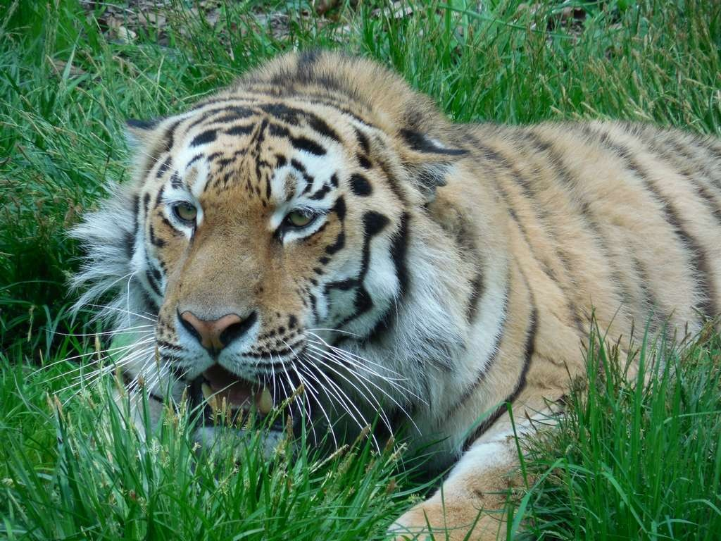 Тигр Амур перед прыжком