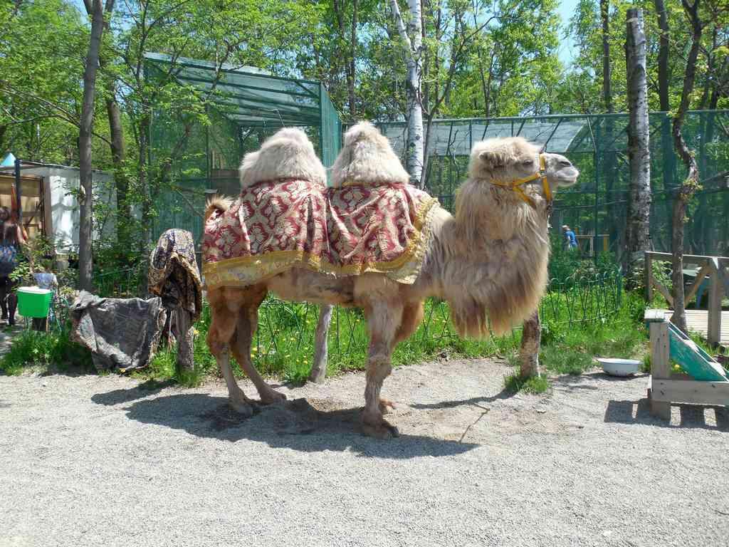 верблюд в зоопарке владивостока