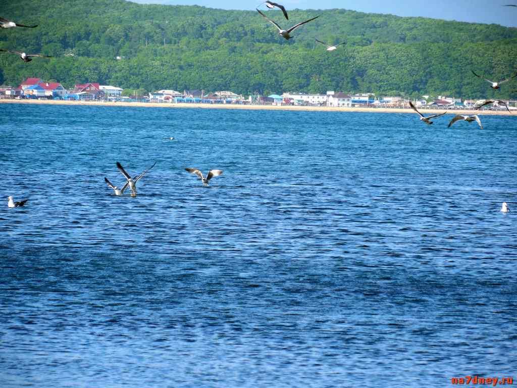 Чайки ловят рыбу в поселке Авангард на фоне пляжа Волчанец