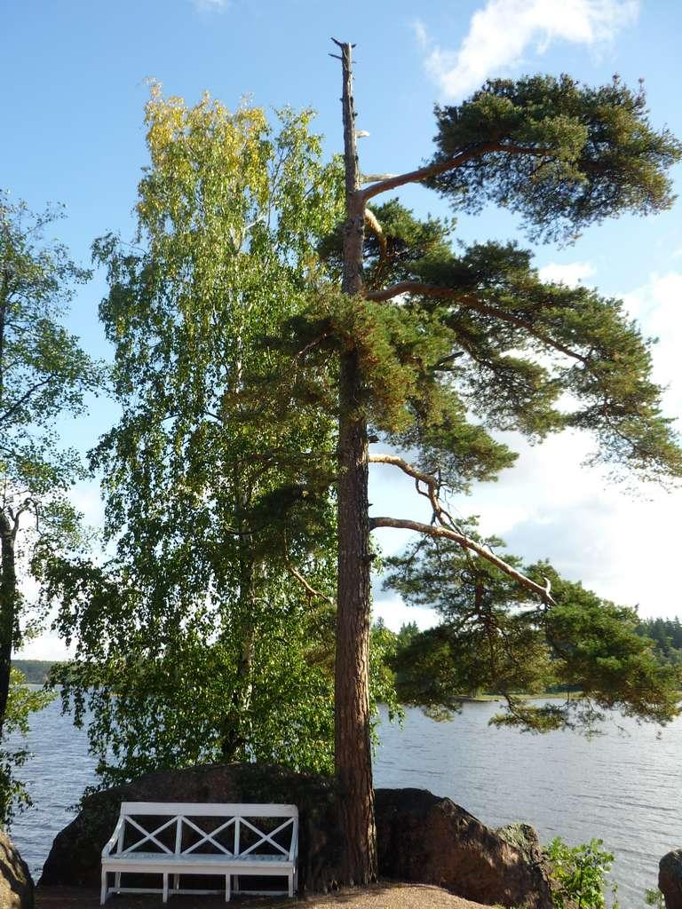 дерево со скамейкой в парке Монрепо